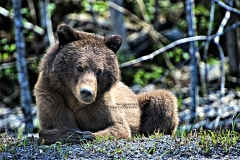 grizzly at poss